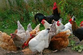 cara memelihara ayam organik