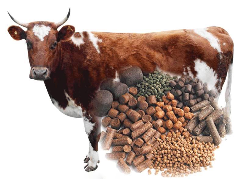 cara membuat pakan sapi penggemukan