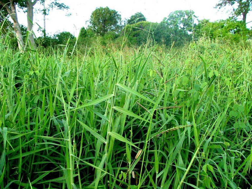 Jenis Jenis Rumput Pakan Ternak